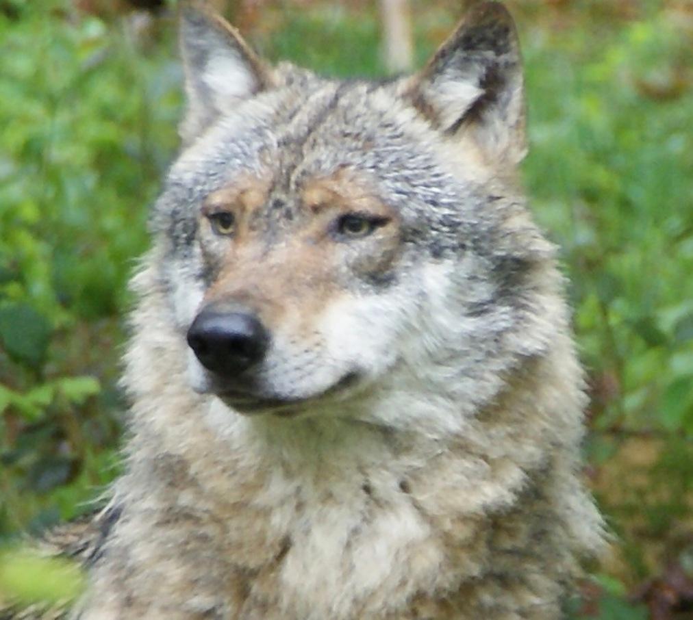 Delisting Wolves