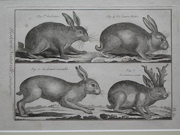 Gravure d'un lièvre cornu, issue du Tableau Encyclopédique et Méthodique de 1789